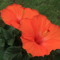 Red & Yellow Hibiscus Flowers