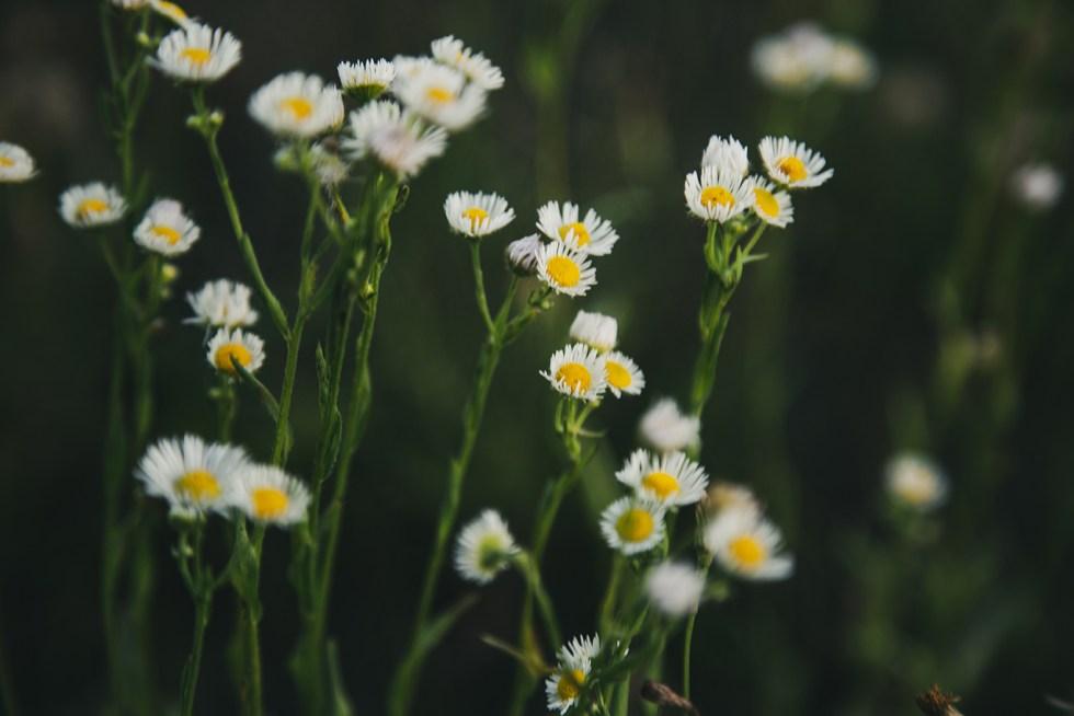 Macro white wild flowers