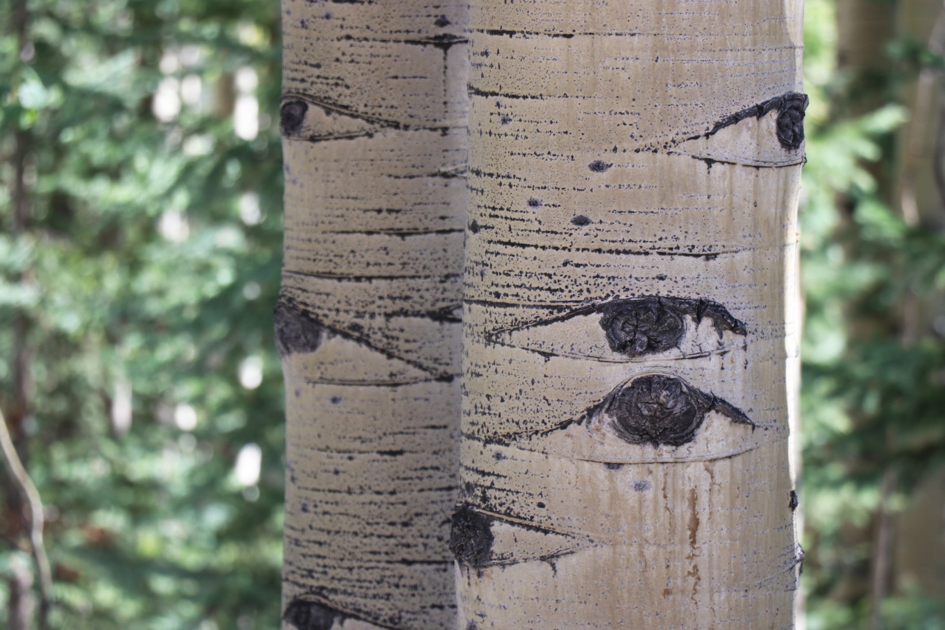 Aspen Trees Photographed By Sara Turbyfill In Creede, CO.