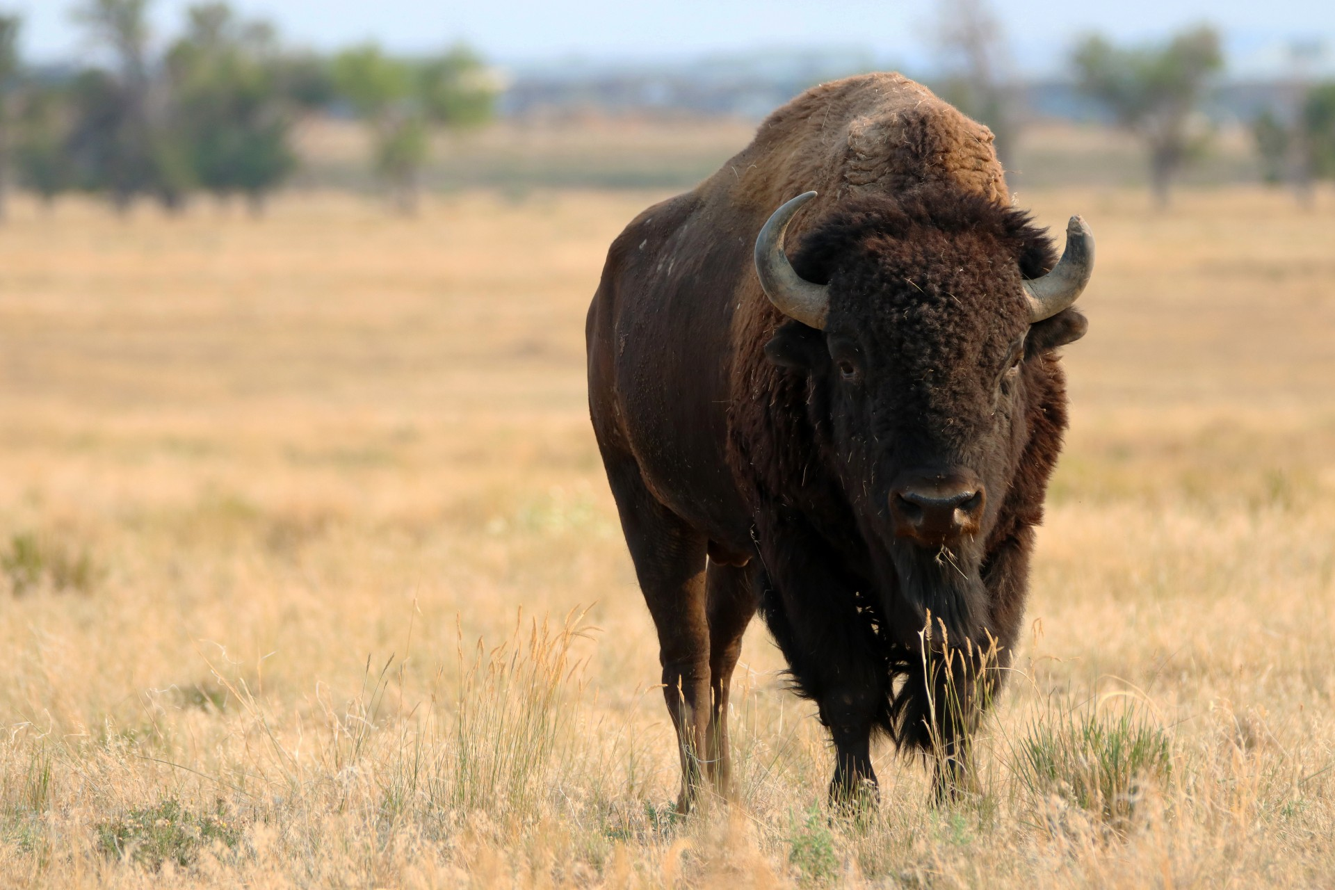 Bison Photographed By Sara Turbyfill At Rocky Mountain Arsenal NWR.