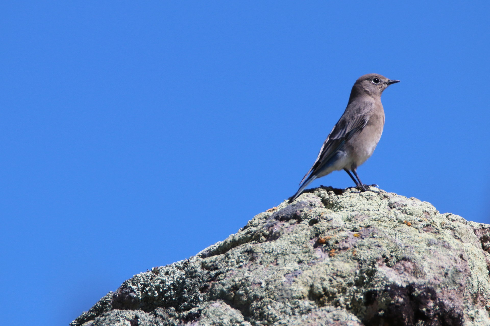 Blue Gray Gnatcatcher Photographed By Sara Turbyfill Near North Clear Creek Falls In Colorado.