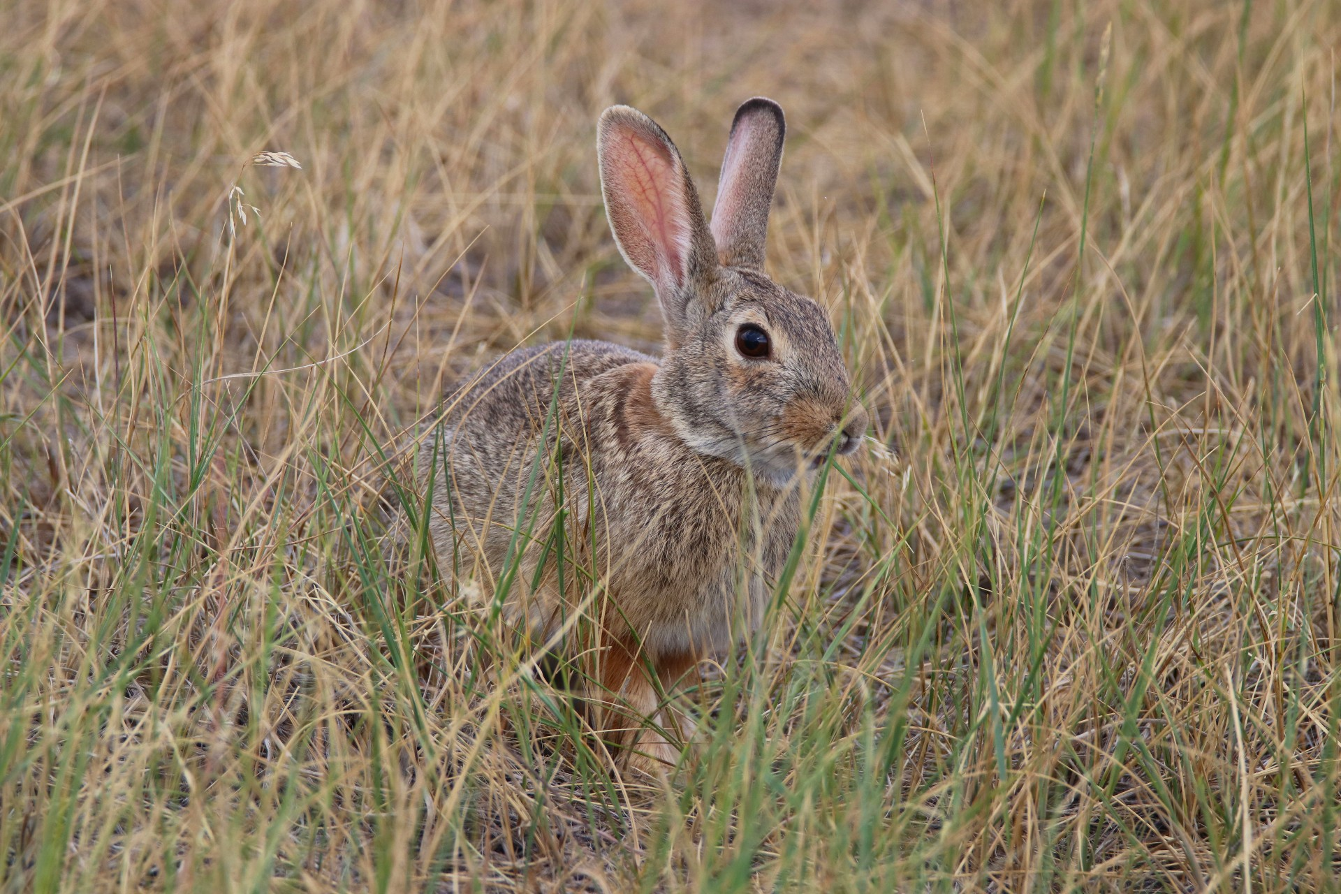 Eastern Cottontail Photographed By Sara Turbyfill In Commerce City, CO.