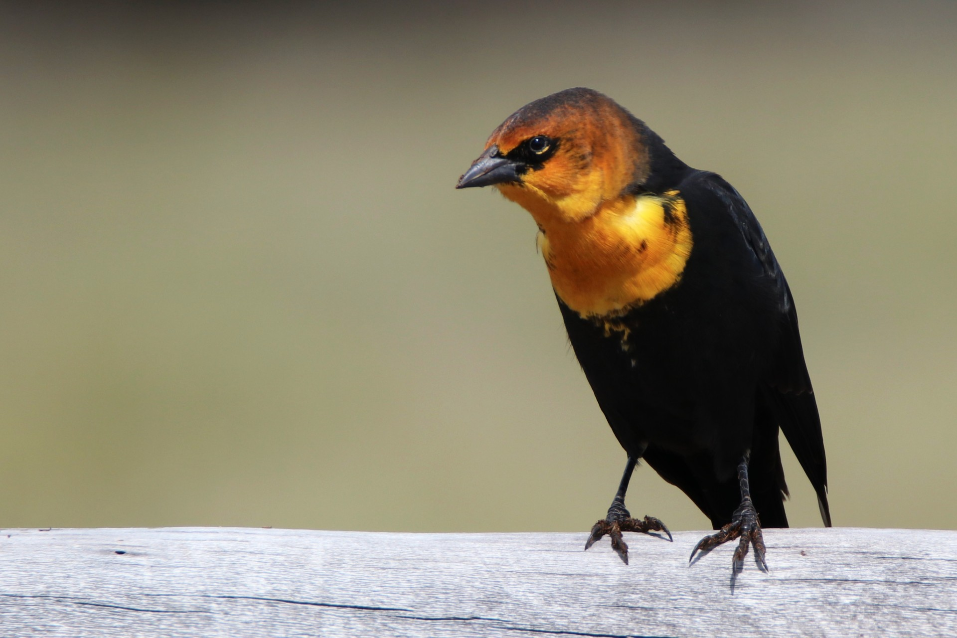 Male Yellow-Headed Blackbird Photographed By Sara Turbyfill In Mineral County, Colorado.