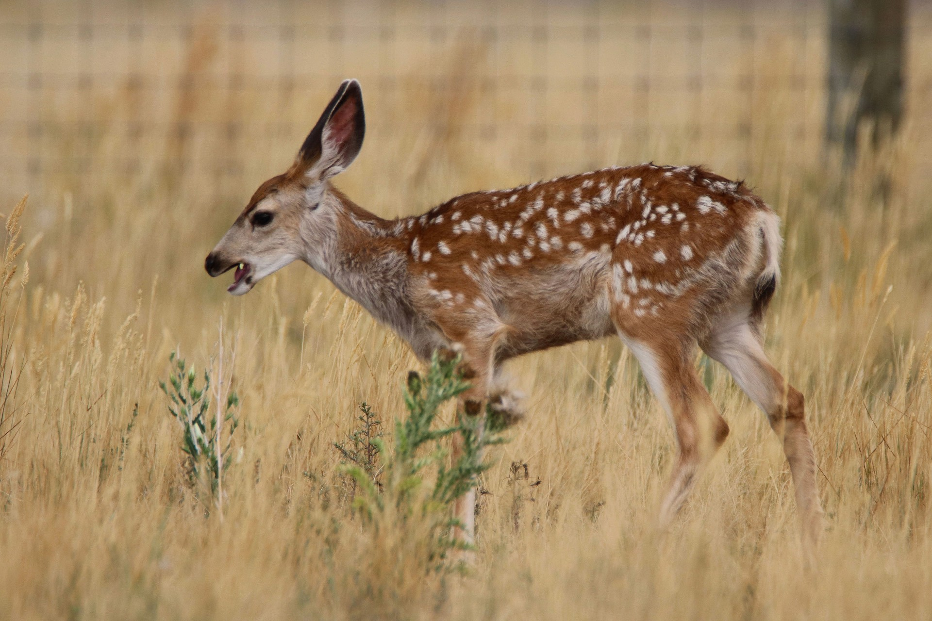 Mule Deer Fawn Photographed By Sara Turbyfill In Commerce City, CO.