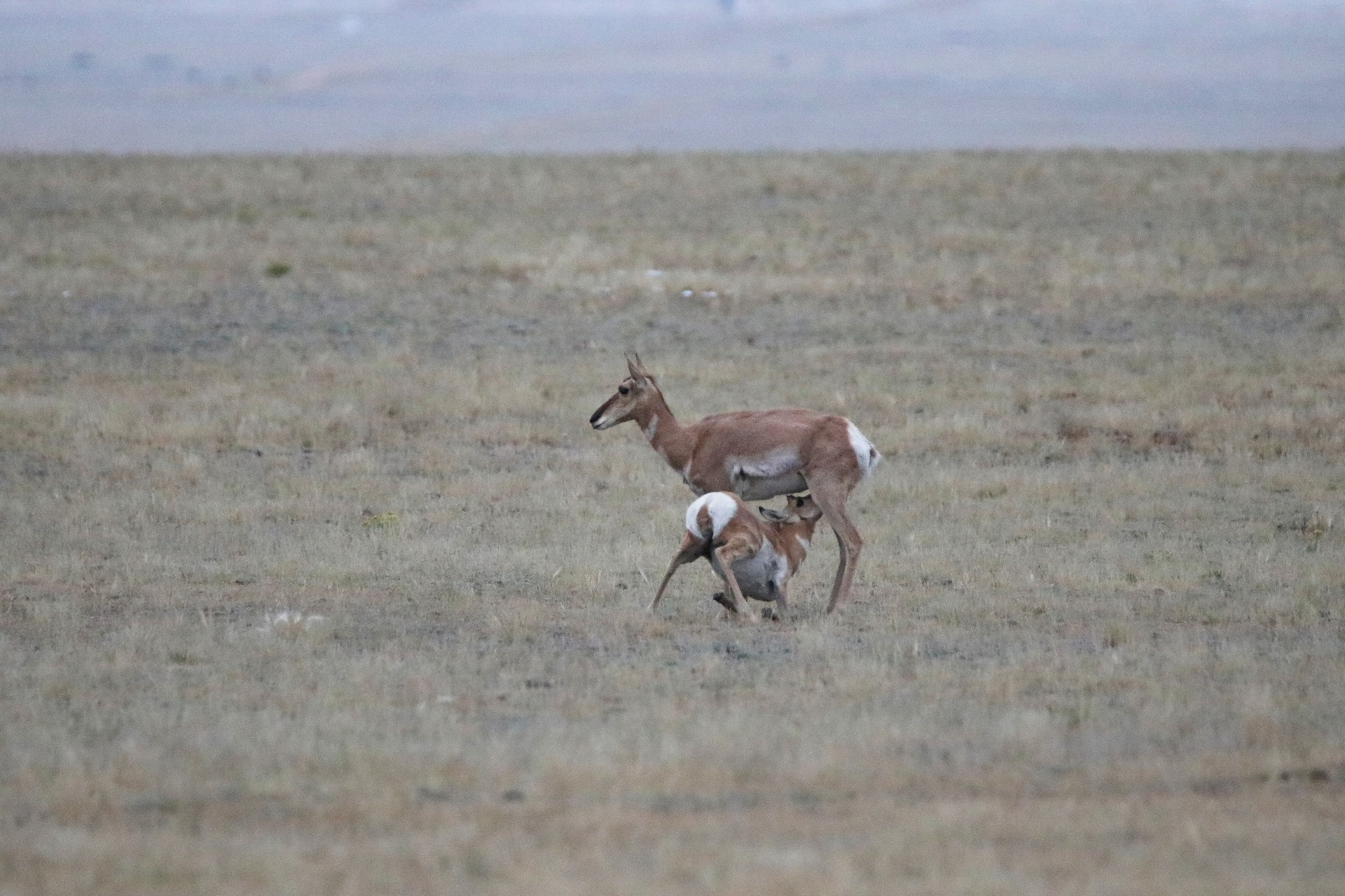 Pronghorns Photographed By Sara Turbyfill In Hartsel, Colorado.