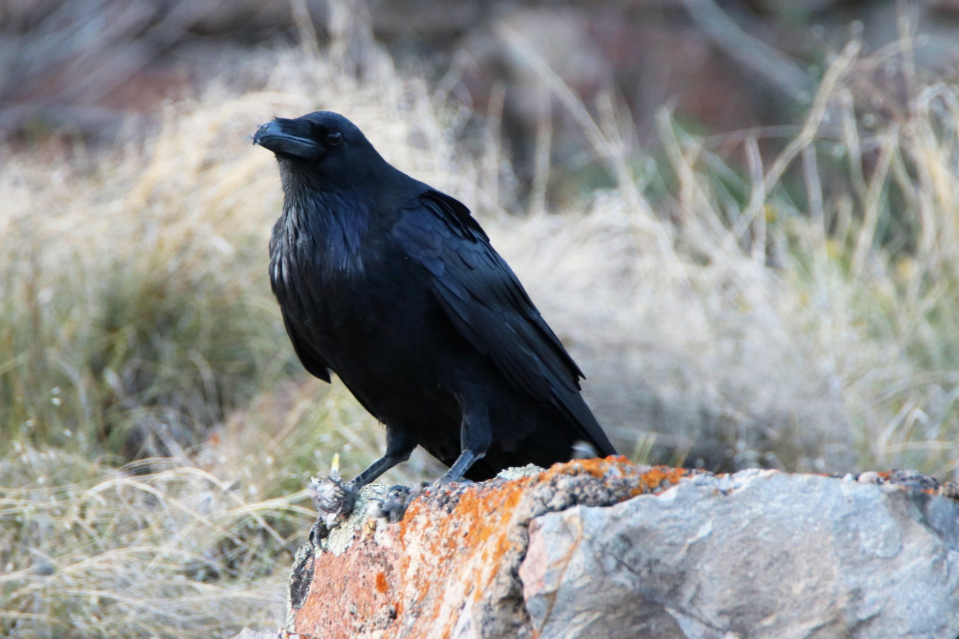 Raven Photographed By Sara Turbyfill In Creede, CO.