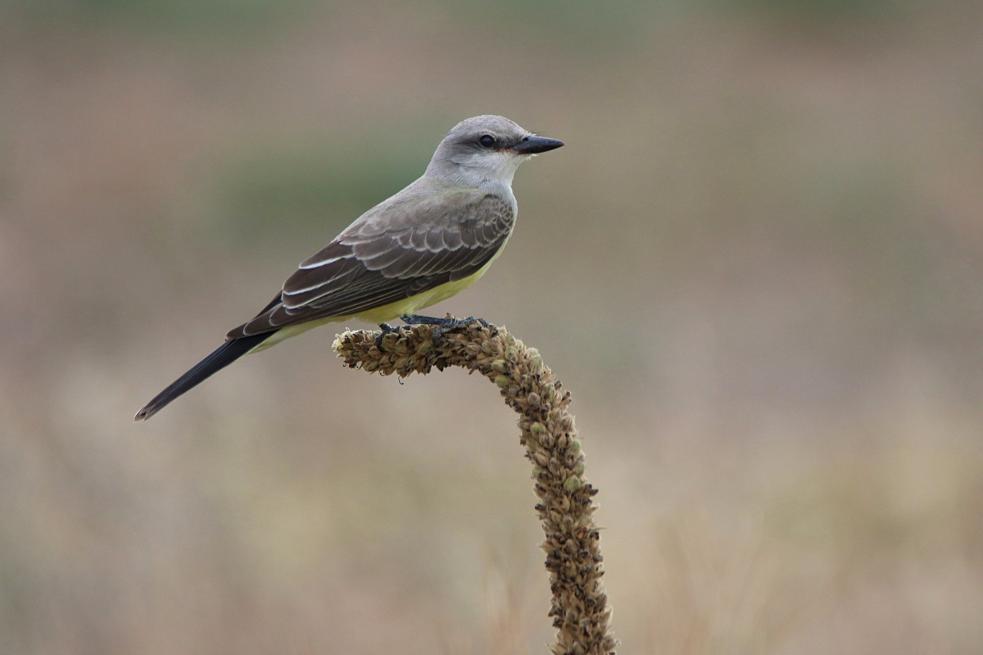 Western Kingbird Photographed By Sara Turbyfill In Commerce City, CO.
