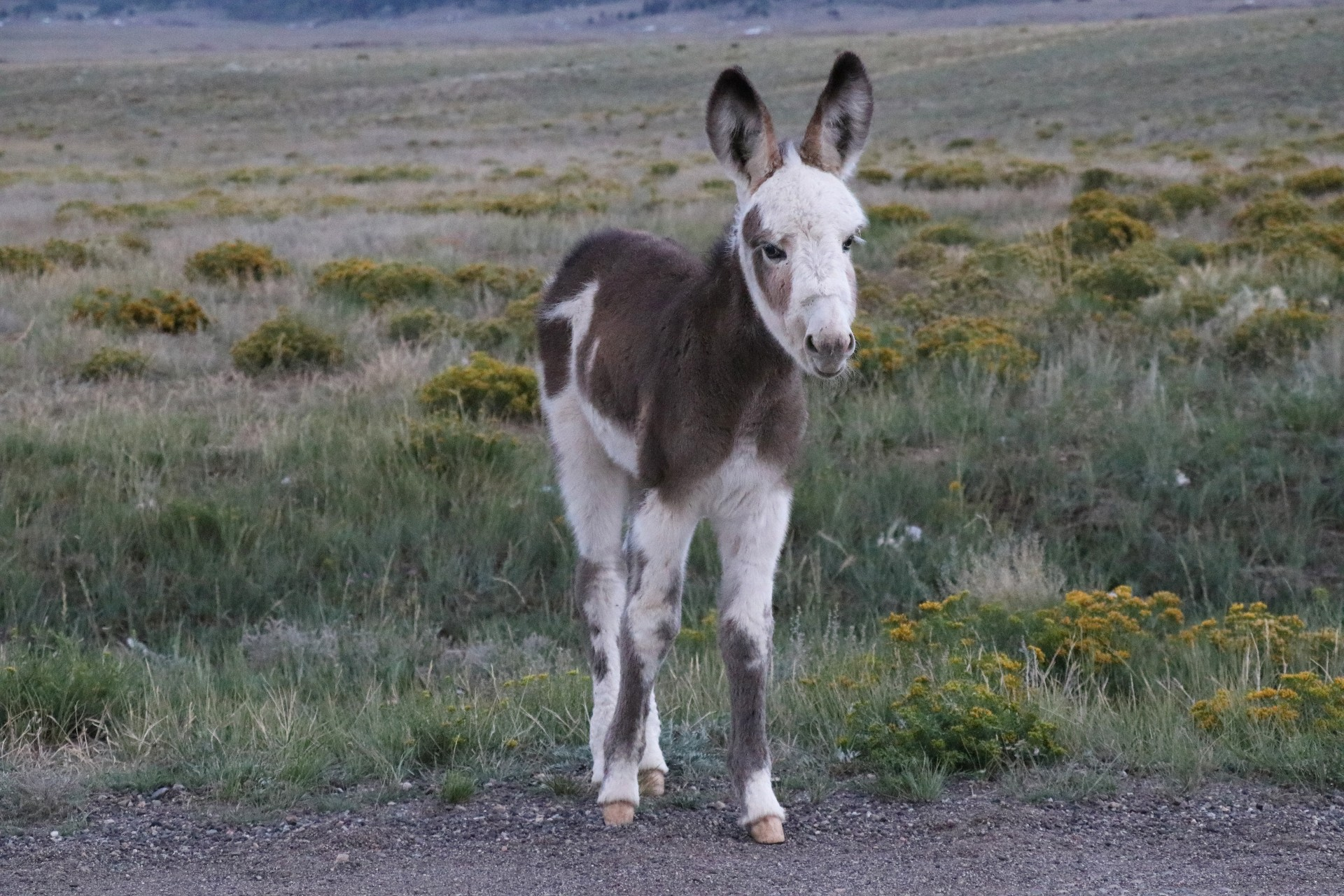 Wild Donkey Foal Photographed By Sara Turbyfill Near Eleven Mile State Park In Colorado.
