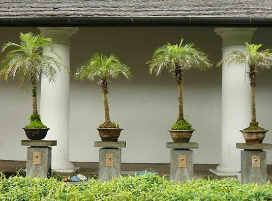 Unchanged: the elegant row of dwarf palms at the Old Court House complex.
