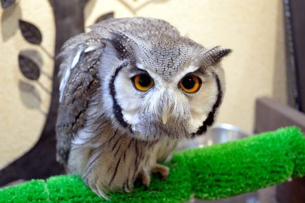 Dai-chan the Northern White-Faced Owl!