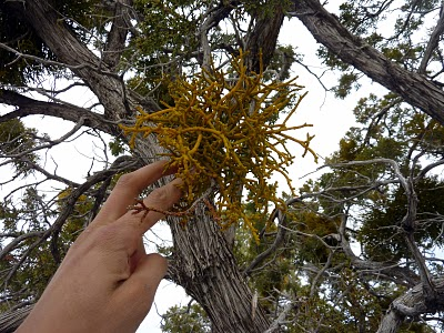 Mistletoe in a juniper