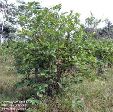 Erythroxylum coca