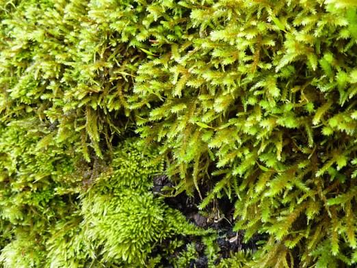 Mosses by Sarcozona