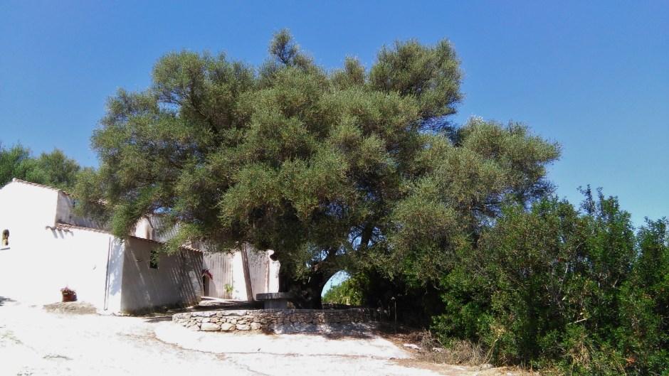 Il grande ulivo del santuario di San Giovanni