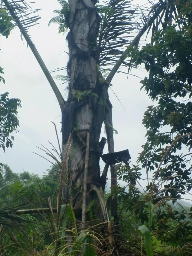 Pohon Enau/ Copyright: Sari Novita