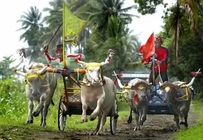 Festival Kerapan Sapi Makepung. Copyright: Barry Kusuma http://www.barrykusuma.com/