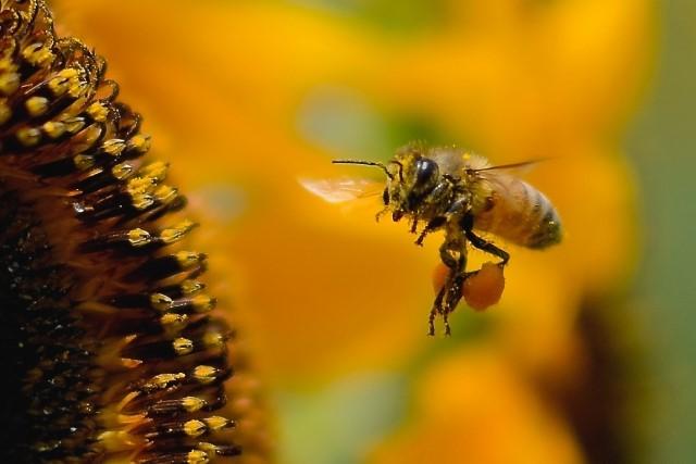 ビーポーレンの効果・効能!花粉症に効果的って本当?