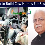 Haryana to Build Cow Homes For Stray Cattle