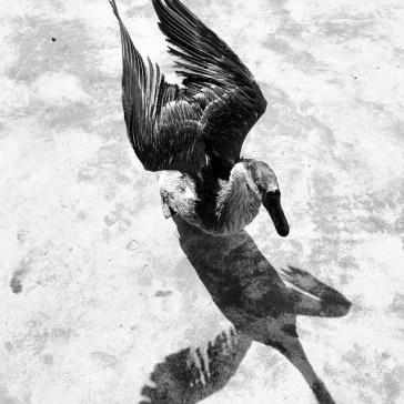 Ducks_002