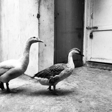 Ducks_011