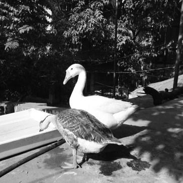 Ducks_012