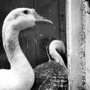 Ducks_014