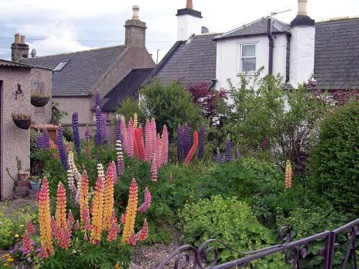 Lupins in a Scottish Garden