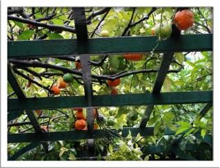 Orange (citrus sinensis) in fruit