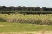 牧草地で採餌、休息するオオヒシクイの群れ