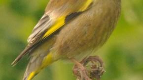 ベニヤ原生花園の小鳥