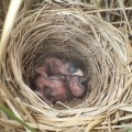 オオジュリンの巣