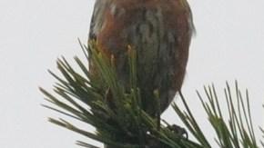 利尻島の鳥類