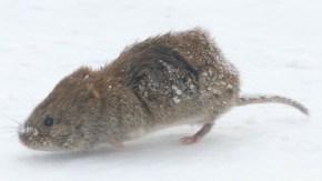 道路にエゾヤチネズミ