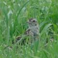 牧草地際の鳥たち