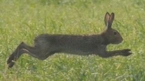 牧草地にユキウサギ
