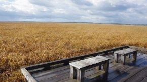 黄金色のサロベツ湿原