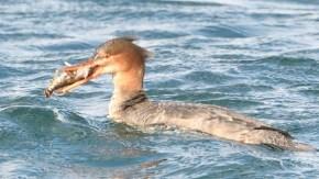 アイナメを食べるウミアイサ