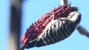 ホオノキの実を食べるコゲラ