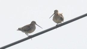 オオジシギ2羽