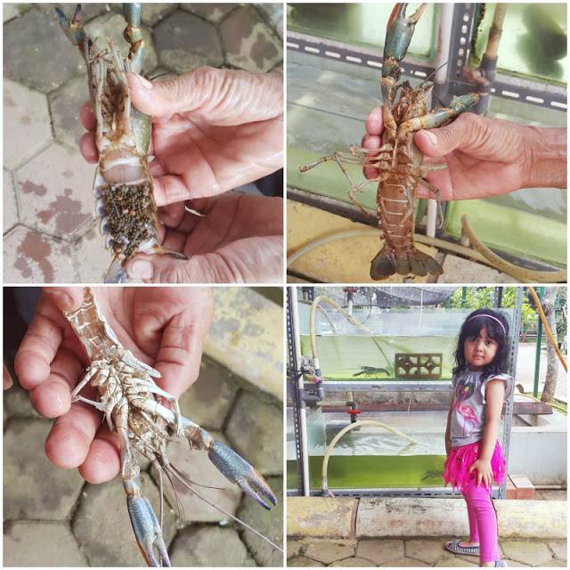 BFC Mini Farm : Lobster Air Tawar Jantan Betina