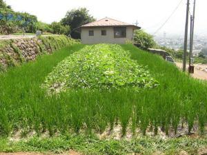 マルチで陸稲大豆の苗が生育