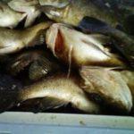 今日の釣果~クロメバル