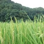 稲穂~笹川流れ