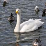 大池の渡り鳥達