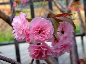 桑川港の八重桜