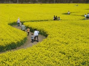 胎内市チューリップフェスティバル2008HPより「菜の花畑」