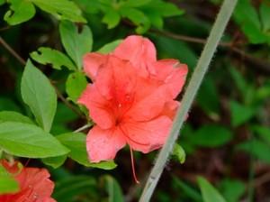 山ツツジの花~笹川流れの山にて