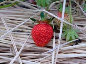 イチゴ~芳香早生