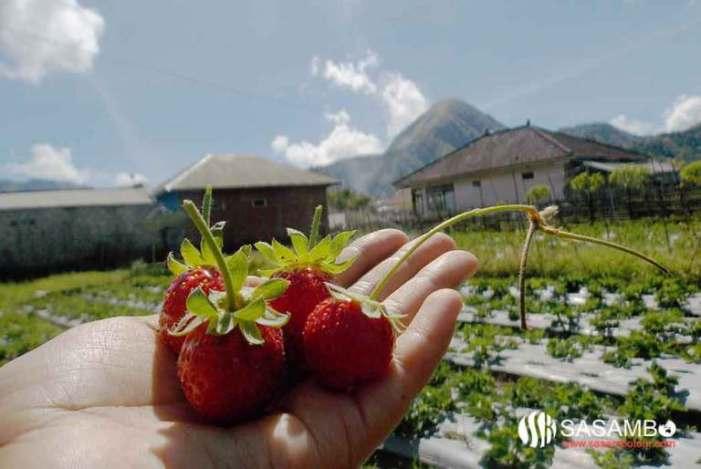 strawbery di sembalun