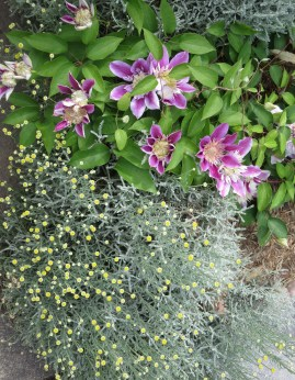 clematis and santolina